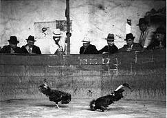 La Casta De Gallos de Pelea en Puerto Rico