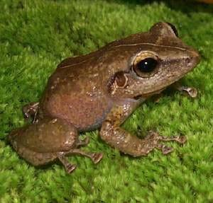 Coqui Frog | Puerto Rico Coqui