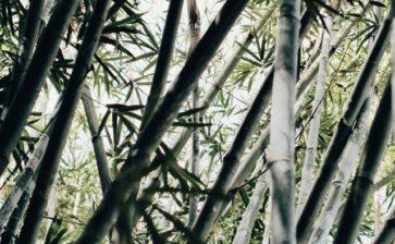 A Quick Look At Puerto Rico's Bamboo History