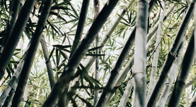 A Quick Look At Puerto Rico's Bamboo History