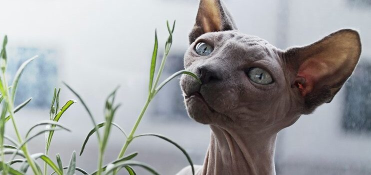 Facts You Need to Know Before Getting a Peterbald Cat Breed