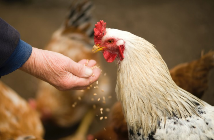 how do you feed your chickens