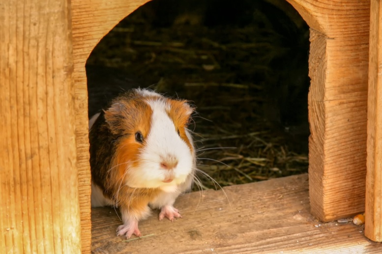 How hot is too hot for a guinea pig