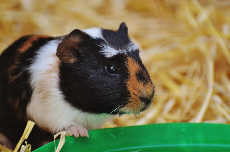 Quick ways to cool down an overheated guinea pig