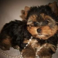 Champion Bloodlines Male and Female Yorkie puppies available?