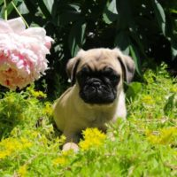 Lively Pug Puppies