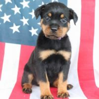 Handsome Rottweiler Puppies
