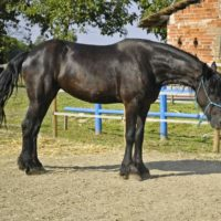 Beautiful Friesian Mare for Rehoming